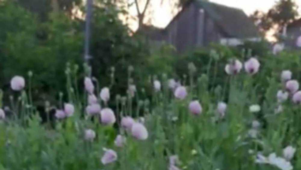 В Брянской области полиция нашла 42 поляны с наркотическими растениями