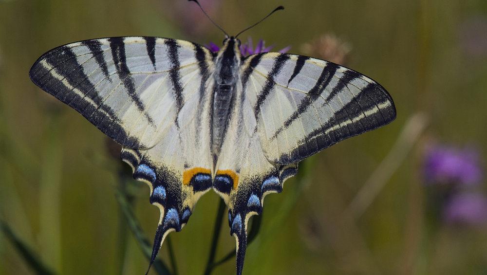 В заповеднике «Брянский лес» впервые обнаружили редчайшую бабочку
