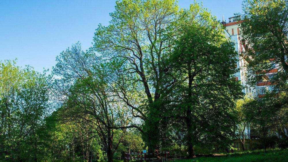 Брянский 300-летний ясень стал третьим в конкурсе «Российское дерево года»