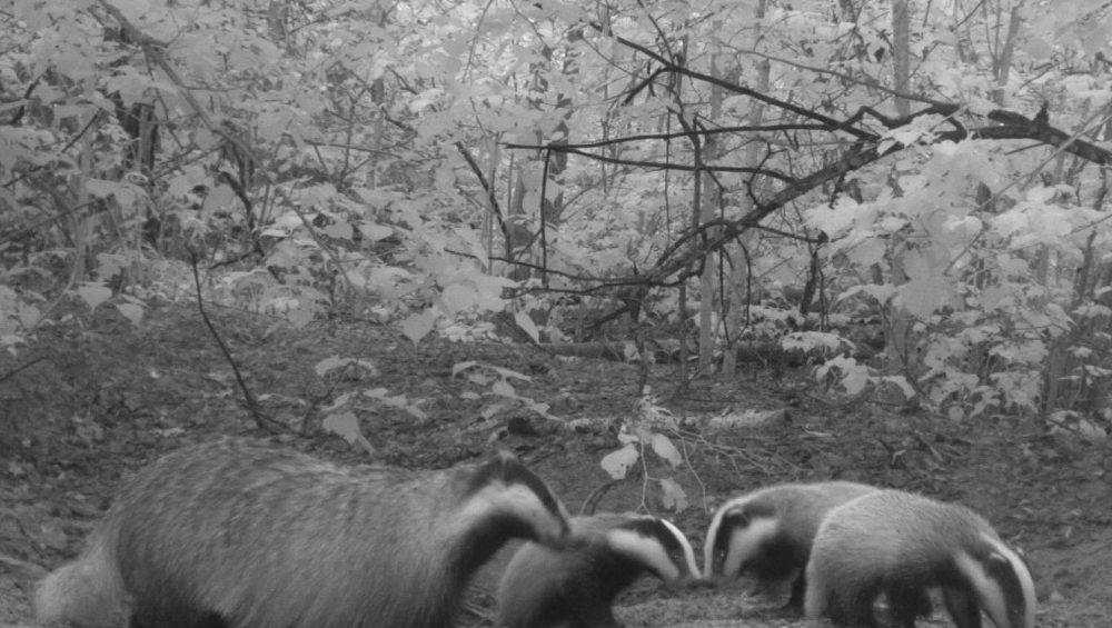 В заповеднике «Брянский лес» фотоловушки сняли барсуков, лосей и оленей