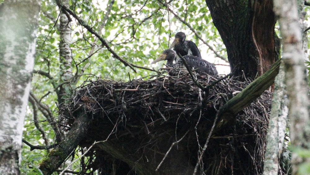 Брянские лесничие сохранили от вырубки участок леса с гнездом черного аиста
