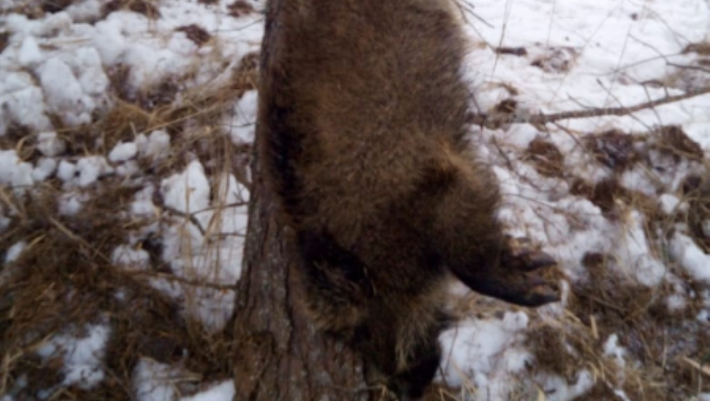 В Карачеве отдали под суд застрелившего двух кабанов 60-летнего браконьера