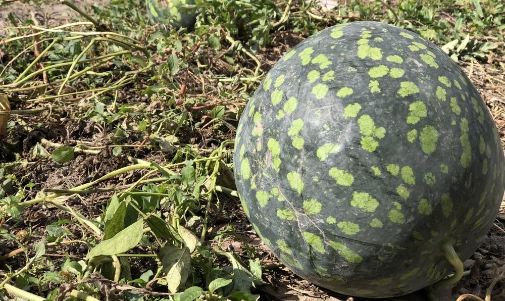 В Брянской области огородники научились выращивать «астраханские» арбузы