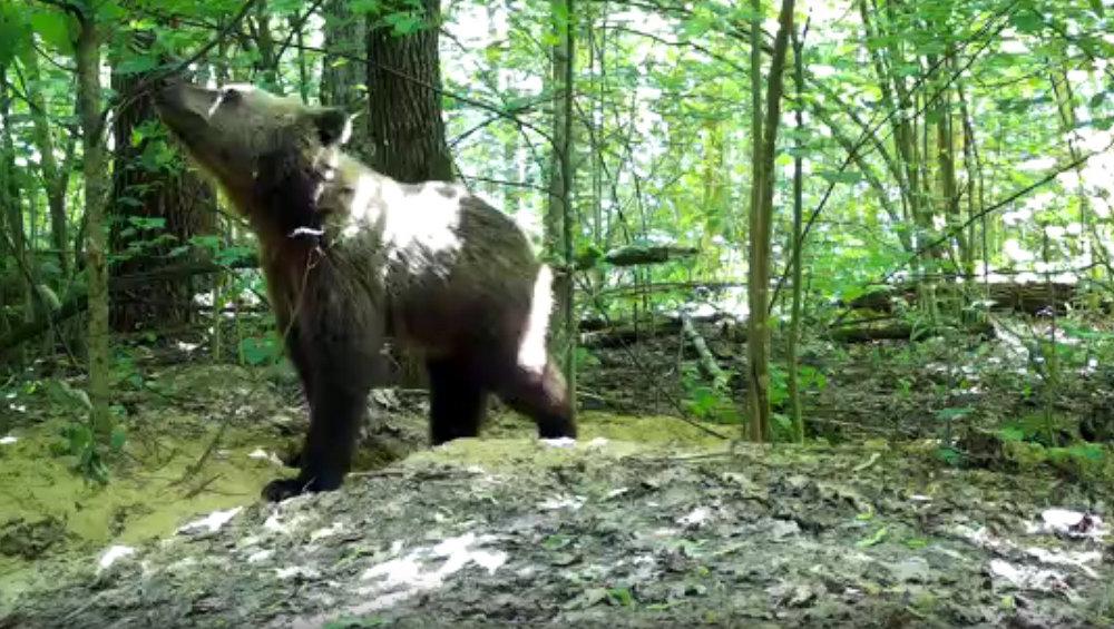 В фотоловушку «Брянского леса» попался медведь-подросток