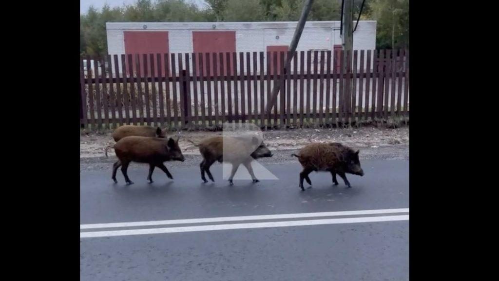 Стадо диких кабанов наведалось в российское село