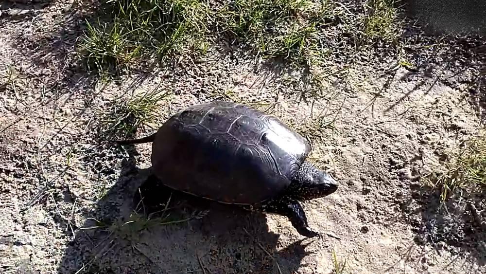 Деловитая черепаха удивила жителей Брянска на пляже возле рощи Соловьи