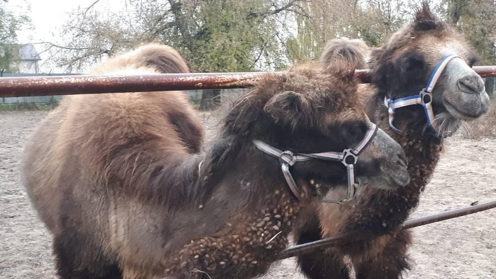 Верблюды Саша и Таня стали любимцами на Локотском конезаводе