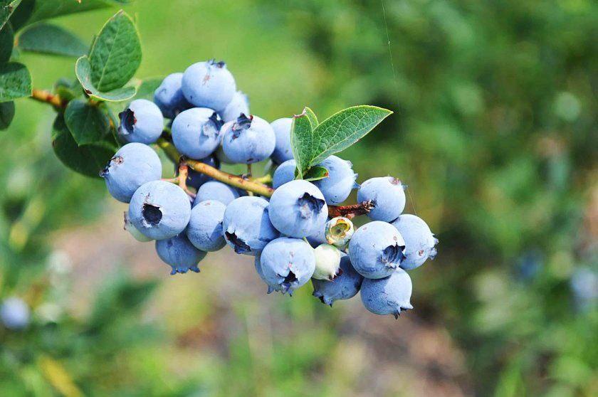 Голубика в саду – польза растения