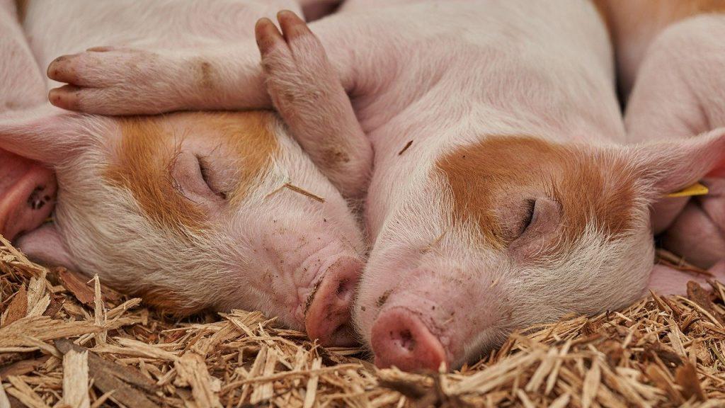 Брянские свиньи недобрали в весе из-за жары и чумы