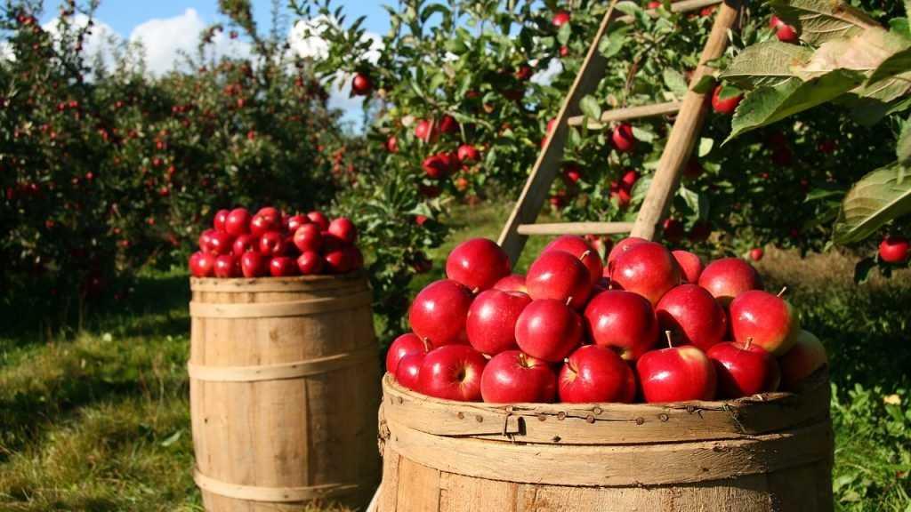 Брянские любители яблок стали возрождать садоводство