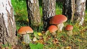 Телеканал «Россия 24» рассказал о ядовитых грибах из Брянской области