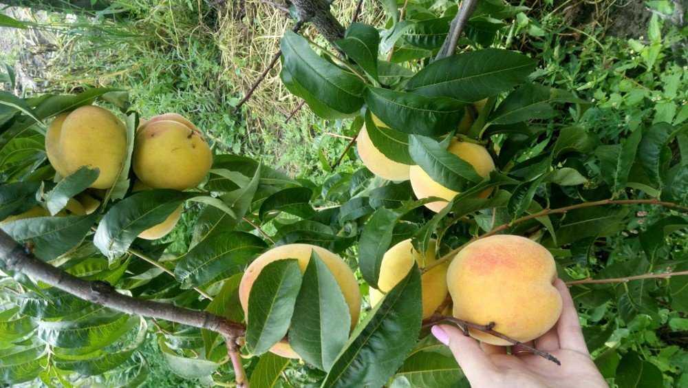 В Брянске садоводы вырастили роскошные персики