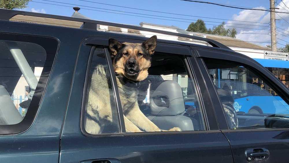 Жителей Брянска удивил автомобиль с привилегированными собаками