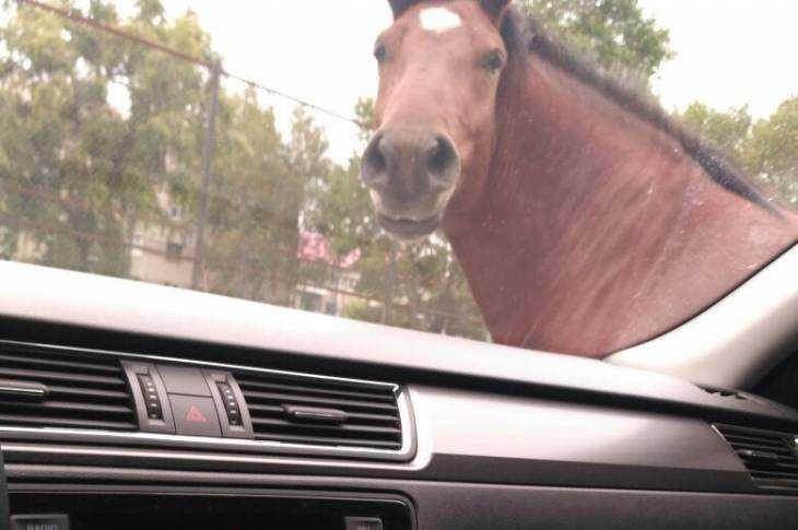 Игривая брянская лошадь