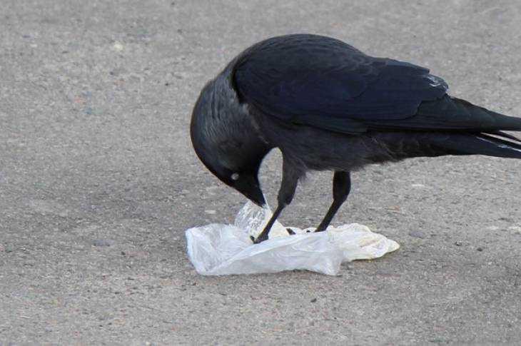 Брянская ворона приступила к мусорной реформе